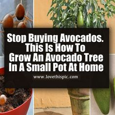 Avocados are simply all around us! These green little fruits are one of the most common ingredients of various meals and desserts these days. However, despite its mild aroma and delicious taste, this fruit