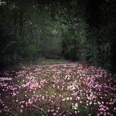 Where the fairies live - wild cyclamens     by @Dana Thor