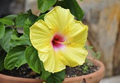 Tropical hibiscus is a flowering shrub that displays big, showy blooms from spring through autumn. Growing tropical hibiscus in containers on a patio or deck is a good option; hibiscus performs best when its roots are slightly crowded. Read here to learn more.