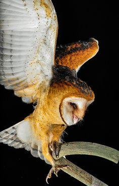 Novice Flyer--young barn owl