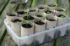 Con los rollos de papel higienico...unos buenos almacigos:    Una vez las plantas esten crecidas, plantarlas incluyendo el rollo de carton que es biodegradable o quitandolo y reutilizandolo para otros almacigos.