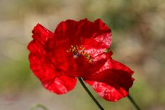 poppy is dancing with the wind by amalphi