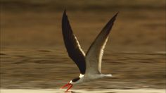 At speeds of 40mph, an African skimmer's beak slices though the water to catch fish. From: Speed Kills