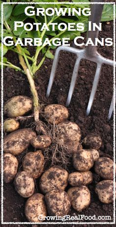 Growing Potatoes In Garbage Cans | GrowingRealFood.com #gardening #potatoes