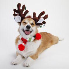 henry the reindeer corgi this would also make an adorable christmas card corgi dog - Corgi Christmas