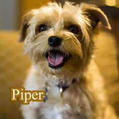 Piper is an adoptable Glen Of Imaal Terrier Dog in Baton Rouge, LA.  Breed: Glen of Imaal Terrier Mix Estimated DOB: 11/2/10 ... ...