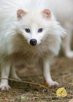 White raccoon dog looking at me seriously (by Tambako the Jaguar)