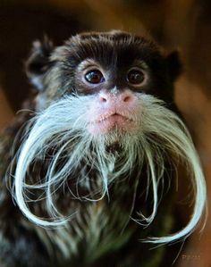 Biologia-Vida: Sagui imperador: carinho e um bigode estiloso / Emperor tamarin: tenderness and a stylish mustache