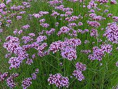 Verbena bonariensis Verbena es un género de plantas herbáceas o semileñosas, anuales o perenne, con cerca de 250 especies. Rastreras con hojas simples, opuestas. Originarias de ambos hemisferios. Prefieren suelos arenosos, livianos y de rápido drenaje.
