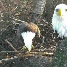 DC Eagle Cam • LIVE Bald Eagle Nest Cam, photo 3