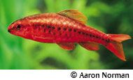 Cherry Barb fish profile (freshwater)
