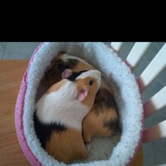 I wish my piggies would cuddle like this :)