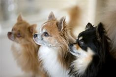 pictures of chihuahuas | Chihuahua | Vi med hund