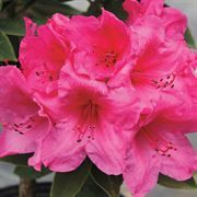 Anna Rose Whitney Rhododendron is temporarily unavailable