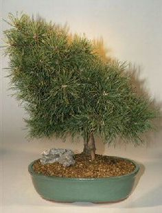 """Scots Pine is an exotic medium-sized two needle pine. Needles range from 1.8""""-2.6"""" in length and vary from mid to blue-green in color. The bark is relatively thin, red in color and peels easily. Likes"""