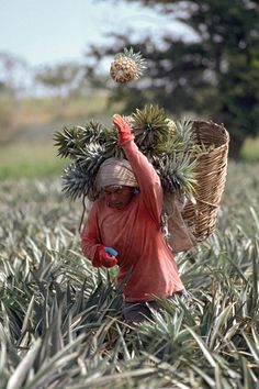 Harvesting pineapples in Mexico. Just a great shot! Gulf Of Mexico, Mexico City, New Mexico, We Are The World, People Around The World, Around The Worlds, Mexican People, Mexico Culture, World Religions