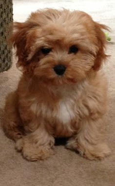 4 month old cavapoo... Seriously! How cute! @Natasha S S Papuga meet my future pup!!! Love!!!!