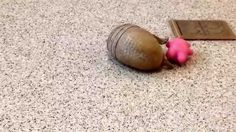 Three Banded Armadillo Rolls Around on the Floor with His Favorite Pink Toy...his name is Rollie!!