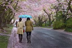 Cherry Blossoms in Bethesda, Maryland Preston Blair, Bethesda Maryland, Two Girls, Silver Spring, The Good Old Days, Cherry Blossoms, Suitcase, Travel Tips, Places To Go