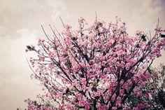 Items similar to Cherry blossom tree, sakura japanese flower tree fine art print, wall art on Etsy Cherry Blossom Tree, Blossom Trees, Japanese Flower Tree, Floral Photography, Nature Photography, Flowering Trees, Bliss, Dandelion, September