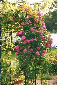 This is my Zephrine Drouhin climbing rose in my garden. This is an old Heirloom variety that does very well in my garden.The roses are just beautiful! See more climbing roses http://www.allaboutrosegardening.com/Climbing-Roses.html