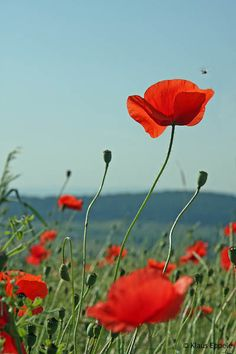 Love Symbols, Red Poppies, Garden Pots, Wild Flowers, Planting Flowers, Watercolor Art, Fields, Beautiful Flowers, Bouquet