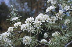 Pyrus salicifolia (wilgbladige Peer) verdraagt snoei goed, in april, mei: verfijnde witte bloemen in tuilen, hierna peervormige harde kleine vruchten