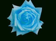 Light blue roses.