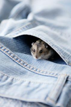 Hamster In Pocket Stock Photo 74449955