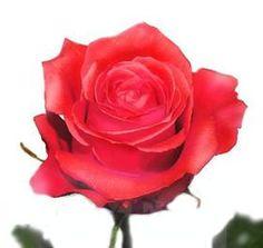 "coral ""Manitou"" roses..."