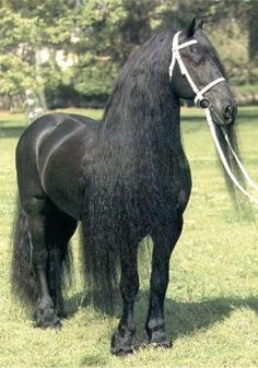 I think I would have a hard time braiding that lovely hair for a Dressage show.