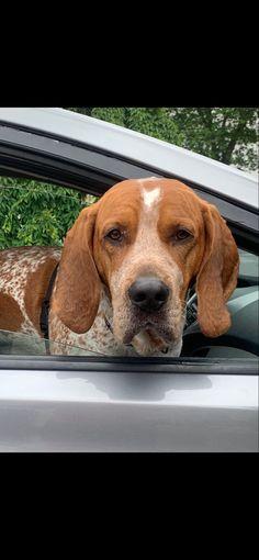 English Coonhound, Mans Best Friend, Dogs, Animals, Animales, Animaux, Pet Dogs, Doggies, Animal