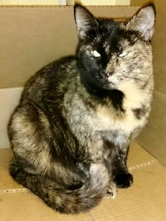 Quiet, sweet and beautiful is this tortoiseshell girl. Her markings are unique and Paris does very well with other cats. She has a truly laid back personality to go along with her compact size and loves dogs too.   Visit our feline gallery at...