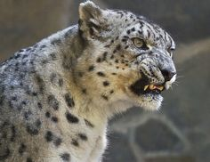 Surefooted climbers, snow leopards have been seen at altitudes as high as 18,000 feet (6,000 meters) in summer, which is just a few thousand feet short of climbing Mt. Everest.