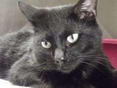 Smokey is an adoptable Domestic Short Hair-Black Cat in Shelbyville, IN. Smokey, named by one of our volunteers, was brought into the shelter on Saturday, June 15 by someone who reported that they fou...