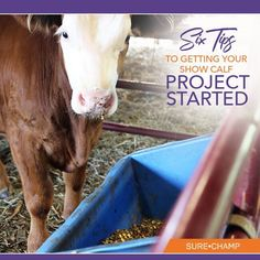 Excited to get you new show calf started?  Here's 6 TIPS to consider to ensure they get off on the right foot!
