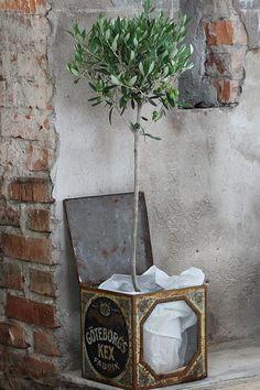 gracious olive tree in tin