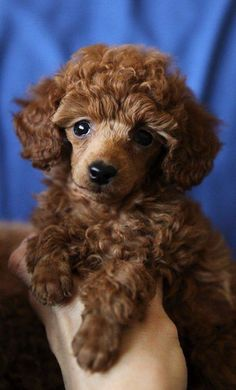 I am a little red Toy Poodle please name me???