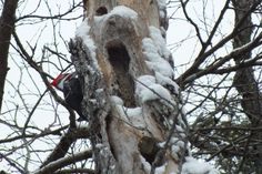 A male pileated woodpecker sits on the side of a tree near Oxtongue Lake, Ontario