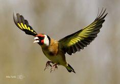 Goldfinch in flight Beautiful Birds, Animals Beautiful, Wolf Tattoo Design, Super Cute Animals, Goldfinch, Wild Birds, Exterior Colors, Wildlife Photography, Birds In Flight