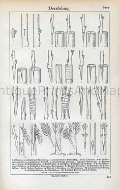 Plant Tree Grafting Propagation Techniques Horticulture Black and White Illustration Print – Gardening for beginners and gardening ideas tips kids Fruit Garden, Garden Trees, Edible Garden, Garden Plants, Garden Art, Grafting Fruit Trees, Grafting Plants, Trees And Shrubs, Trees To Plant
