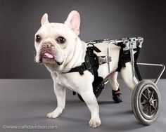 Rue, disabled French bulldog
