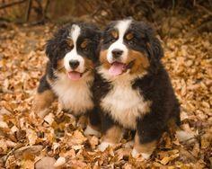 Bernese Mountain Dogs. Super Cute!