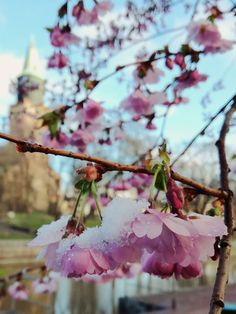 Lumisia kirsikankukkia.  #cherryblossom #cherry #flowers #turku #finland Turku Finland, Cherry Blossoms, Lifestyle, Flowers, Cherry Blossom, Japanese Cherry Blossoms, Royal Icing Flowers, Flower, Florals