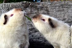 Ícaro & Ulinda -  Cobayas US Teddies Himalayas (Teddy guinea pigs) - performing a slightly more aggressive version of Lady and the Tramp
