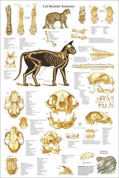 Skull Anatomy, Dog Anatomy, Animal Anatomy, Anatomy Art, Skeleton Anatomy, Cat Drawing Tutorial, Drawing Tips, Cat Skeleton, Cat Reference