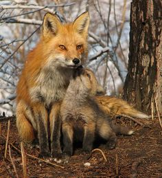 magicalnaturetour ∞  Red Foxes by Luc ~ I love my mommy