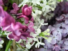 A fragrant (and winter-hardy) variety, Syringa vulgaris 'President Lincoln'; a one-gallon pot is $27.95 at White Flower Farm.  For warmer climates, try S. x chinensis 'Lavender Lady'; a 6- to 12-inch plant is $18 at Fox Hill Lilac Nursery.