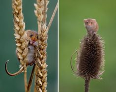 Mice on frain heads and seed pods  (from BoredPanda)