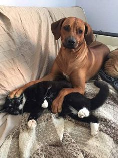 Cute Overload: Internet`s best cute dogs and cute cats are here. Aww pics and adorable animals. Rhodesian Ridgeback, Funny Dogs, Funny Animals, Cute Animals, Lion Dog, Dog Cat, Llamas Animal, Cute Puppies, Dogs And Puppies